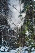 Fotografia foresta in Carpazi con sole attraverso i rami di alberi verdi