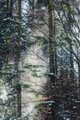 Fotografia foresta con il sole attraverso i rami di un albero verde e neve