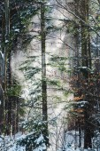Fotografie forest with sunshine through green trees and snowfall