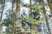 Sonnenlicht im Winterwald mit Baumstämmen und grüne Zweige