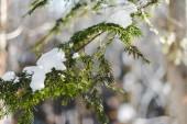 Selektivní fokus jedle zelené větve pokryté sněhem