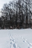 vysoké stromy v zimě lese se stopami na sněhu v Karpatských horách