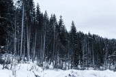 vysoké borovice v zimním lese pokryté sněhem