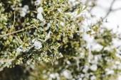 selektiven Fokus der Äste mit grünen Blättern und Schnee