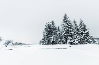 spruces covered with snow in carpathian mountains