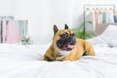 Az ágyban otthon Francia Bulldog lefektetése napközben