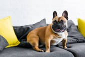 Photo adorable french bulldog sitting on sofa in living room