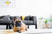 aranyos Francia Bulldog fekve a padlón a nappaliban