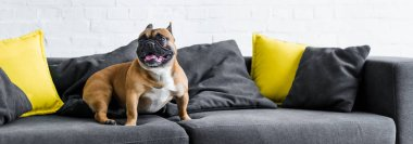 panoramic shot of cute french bulldog sitting on sofa