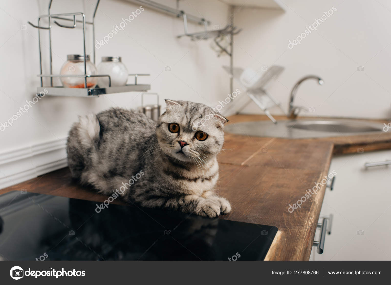 Cute Grey Scottish Fold Cat Sitting Kitchen Counter Stock Photo Image By C Haydmitriy 277808766