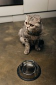 imádnivaló kalandor szürke skót Fold macska a közelben tál a padlón