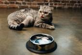 adorable tabby scottish fold cat licking nose near bowl on floor