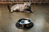 adorable tabby scottish fold cat near bowl on floor