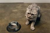 aranyos cirby skót Fold macska közelében tálba a padlón