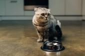 Photo adorable scottish fold cat near bowl on floor in kitchen