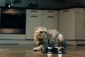 Photo grey scottish fold cat near bowl on floor in kitchen