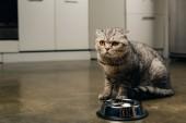 cirnyó szürke skót Fold macska a közelben tál padlón a konyhában