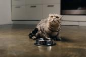 süße schottische Falten Katze sitzt auf dem Boden in der Nähe von Metallschale in der Küche