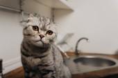 imádnivaló skót Fold nézett kamera a konyhában a másolási tér