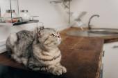 aranyos szürke skót Fold macska feküdt konyha Counter
