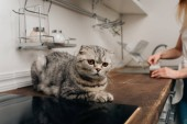Cropped view of young woman opening can with pet food near scottish fold cat in kitchen