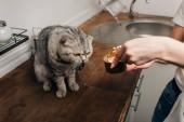 Levágott kilátás-ból fiatal asszony giving szürke Skót Karám macska kisállat étel-ban tud