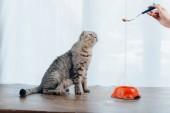 Levágott kilátás-ból fiatal asszony tárolás kisállat étel-ra kanál mellett Skót Karám macska