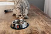 schottische Falten Katze sitzt auf Tisch in der Nähe von Metallschale