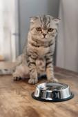 adorable scottish fold cat sitting on table near metal bowl