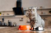 schottische Falten Katze sitzt auf Tisch in der Nähe von Schalen mit Haustierfutter