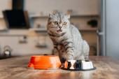 rozkošná skotská kočka sedící na stole blízko mísy s jídlem