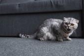 Fotografia gatto piega scozzese seduto vicino divano e miagolare in salotto
