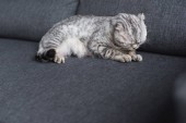 scottish fold cat sleeping on couch in living room