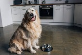 cute golden retriever sitting near metal bowl at home in kitchen