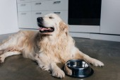 cute golden retriever lying near metal bowl at home in kitchen