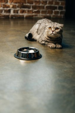 cute scottish fold cat lying near bowl on floor with copy space