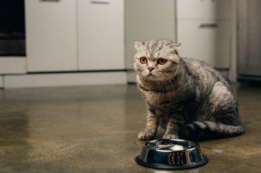 mutfakta katta kase yakın tabby gri İskoç kat kedi