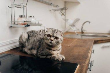 Cute grey scottish fold cat sitting on Kitchen Counter stock vector