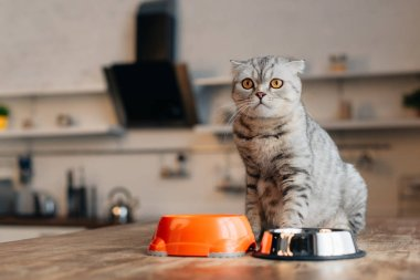 scottish fold cat sitting on table near bowls with pet food