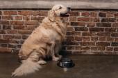 imádnivaló Arany-Vizsla ülő közeli ivás és tégla fal otthon