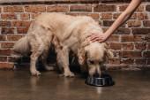 Levágott kilátás-ból asszony cirogatás Arany-Vizsla kutya étkezési kisállat étel