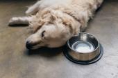 Fotografie ensende goldene Retriever Hund liegen Metallschale auf dem Boden zu Hause