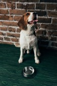 adorable beagle dog near metal bowl on green floor