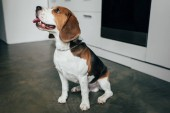 adorable beagle dog sitting on floor in kitchen