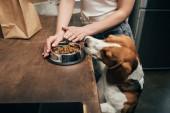 abgeschnittene Ansicht einer jungen Frau, die einem entzückenden Beagle-Hund Futter gibt