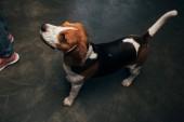 Fényképek imádnivaló Beagle kutya látszó el otthon