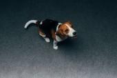 imádnivaló Vadászkopó kutya ülő-ra emelet otthon