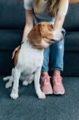 Fotografie oříznutý pohled na mladou ženu sedící na pohovce a pohladil beagleův pes