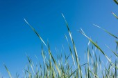 green and fresh grass against blue sky in summertime