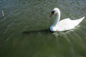 Weiße und wilde Schwäne schwimmen im Sommer im See